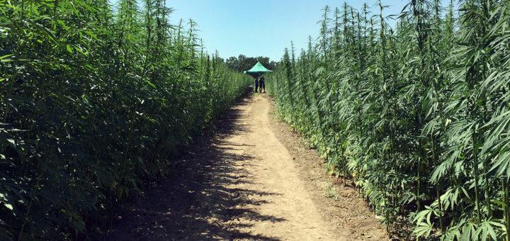 Campania finanzia progetti pilota sulla canapa cannabis Sativa Canapa Campana Caivano