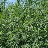 Campania finanzia progetti pilota sulla canapa Cannabis Sativa