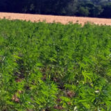 Canapa industriale in Friuli Venezia Giulia Hemp(R)evolution