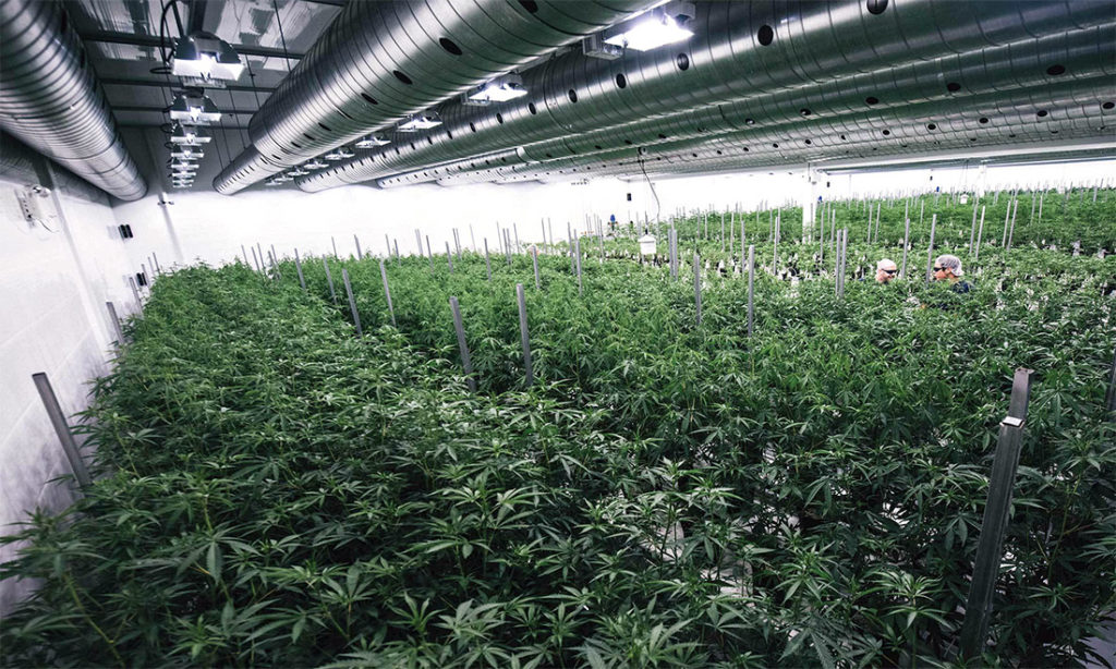 Canopy Growth Corporation e cannabis terapeutica, serre in Canada