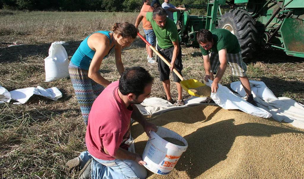Società Cooperativa Agricola Lentamente, raccolta semi canapa