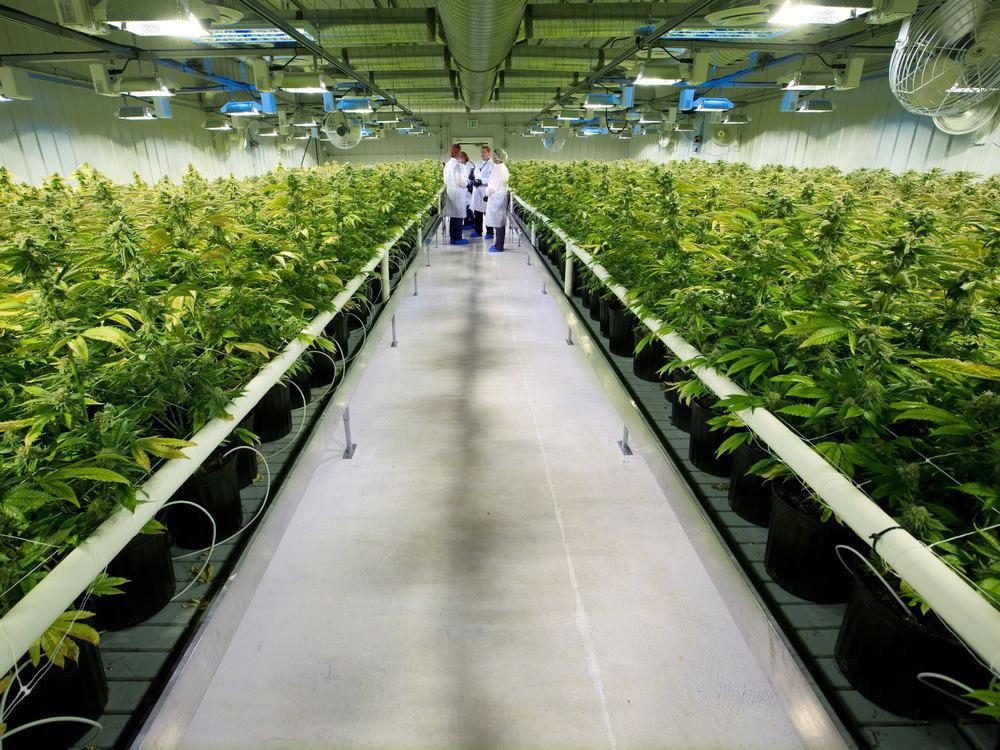 La canadese Aurora Cannabis vince il bando italiano
