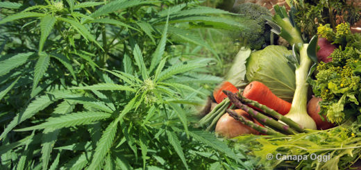 Ticino l'associazione degli orticoltori vede nella produzione di cannabis un forte concorrente