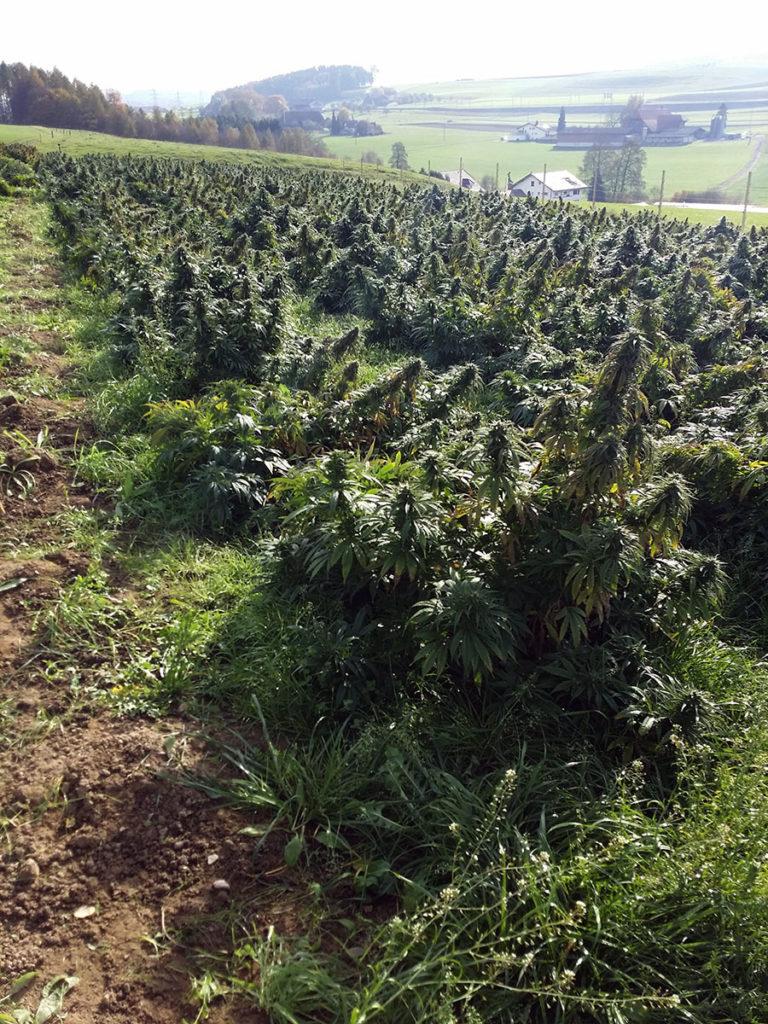 Cannabis Light Legale nel circuito tabaccai Mr Myld infiorescenze alta concentrazione CBD