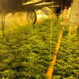 Cannabidiol Distribution cresce nella Cannabis Light-Legale: coltura indoor