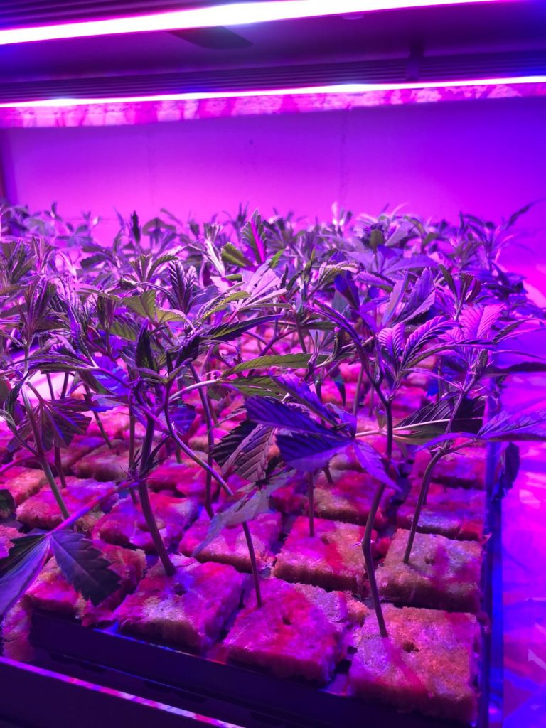 Aical Associazione Italiana Cannabis Light