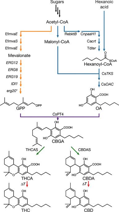 Cannabinoidi low-cost da lievito modificato