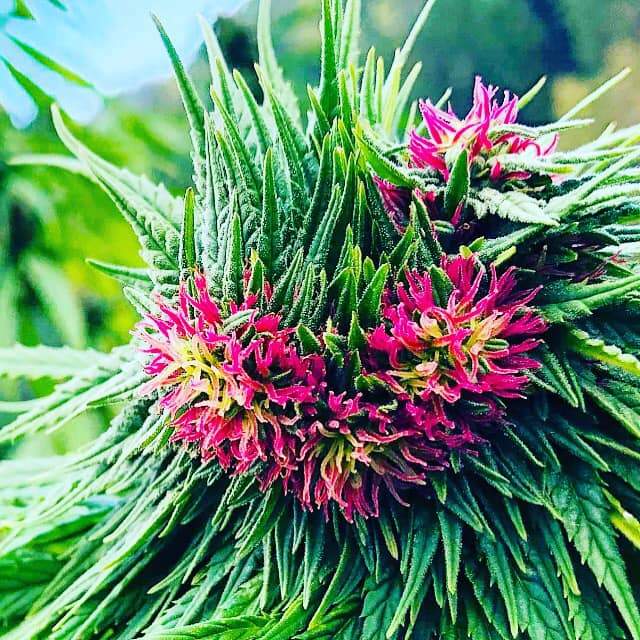 l'inutile crociata contro la Cannabis light